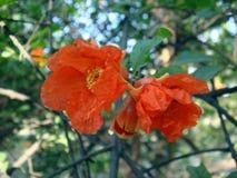 Flores de la granada Fotografía de archivo libre de regalías