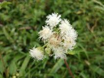 Flores de la hierba Foto de archivo