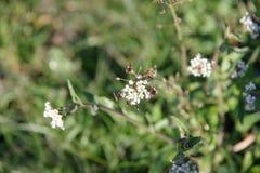 Flores de la hierba Fotografía de archivo libre de regalías