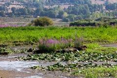Flores de la hierba del lago Fotos de archivo