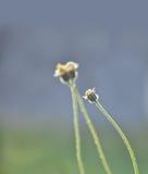 Flores de la hierba en el campo Imagen de archivo libre de regalías