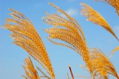 Flores de la hierba en luz de la tarde Foto de archivo libre de regalías