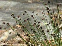 Flores de la hierba salvaje imagen de archivo