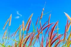 Flores de la hierba salvaje en cielo azul Fotos de archivo
