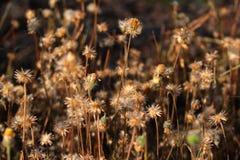 Flores de la hierba secada Imagen de archivo