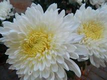 Flores de la HIERBA VERDE Imagenes de archivo