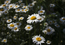 Flores de la hierba verde y de la manzanilla en el jardín foto de archivo