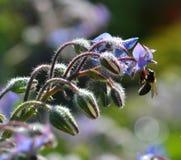 Flores de la hierba y de la abeja de la borraja Imagen de archivo
