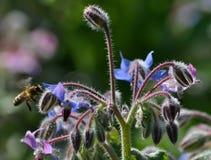 Flores de la hierba y de la abeja de la borraja Imágenes de archivo libres de regalías