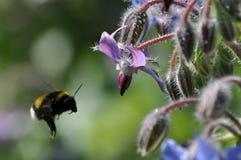 Flores de la hierba y del abejorro de la borraja Fotos de archivo libres de regalías