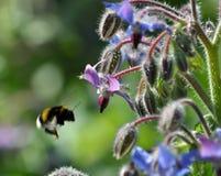 Flores de la hierba y del abejorro de la borraja Foto de archivo libre de regalías