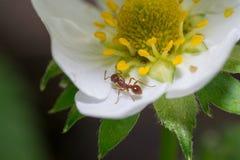 Flores de la hormiga Fotografía de archivo libre de regalías