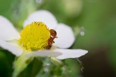 Flores de la hormiga Imagenes de archivo