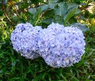 Flores de la hortensia fotos de archivo libres de regalías