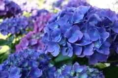 Flores de la hortensia Imágenes de archivo libres de regalías