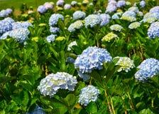 Flores de la hortensia en el día soleado en un jardín fotografía de archivo