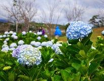 Flores de la hortensia en el día soleado en un jardín imagen de archivo libre de regalías