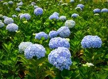 Flores de la hortensia en el día soleado en un jardín imagen de archivo