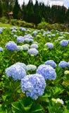 Flores de la hortensia que florecen en el tiempo de primavera fotografía de archivo libre de regalías