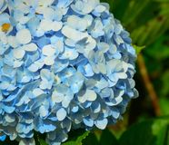 Flores de la hortensia que florecen en el tiempo de primavera imagen de archivo libre de regalías