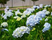 Flores de la hortensia que florecen en el tiempo de primavera foto de archivo libre de regalías