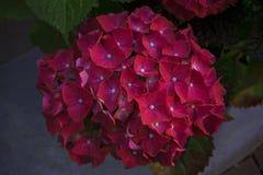 Flores de la hortensia rojo-rosada, en un fondo borroso Imagen de archivo