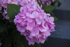 Flores de la hortensia rosada, en un fondo borroso Fotografía de archivo