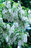 Flores de la langosta negra Imágenes de archivo libres de regalías