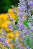 Flores de la lavanda Imagenes de archivo