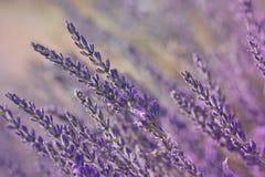 Flores de la lavanda Foto de archivo