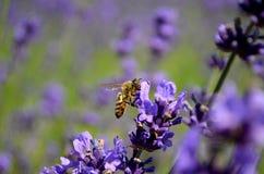 Flores de la lavanda con la abeja Fotografía de archivo