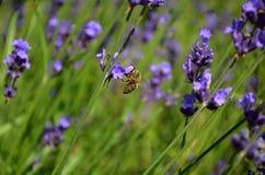 Flores de la lavanda con la abeja Imagen de archivo