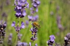 Flores de la lavanda con la abeja Imagen de archivo libre de regalías
