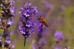 Flores de la lavanda con la abeja Fotos de archivo libres de regalías