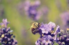 Flores de la lavanda con la abeja Imagenes de archivo