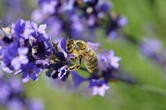 Flores de la lavanda con la abeja Imágenes de archivo libres de regalías