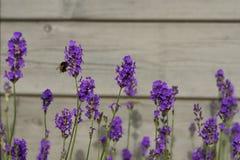 Flores de la lavanda con la abeja Foto de archivo libre de regalías
