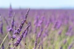 Flores de la lavanda con la abeja en Francia Imagen de archivo libre de regalías
