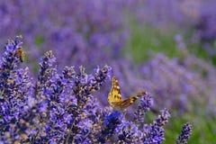 Flores de la lavanda con la abeja y la mariposa Imagen de archivo libre de regalías