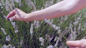 Flores de la lavanda de la cosecha de la mano del ` s de la mujer metrajes