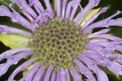 Flores de la lavanda del bálsamo de abeja en Vernon, Connecticut Imagen de archivo libre de regalías