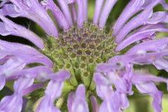 Flores de la lavanda del bálsamo de abeja en Vernon, Connecticut Imagen de archivo
