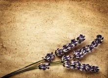 Flores de la lavanda en el contexto marrón Imagenes de archivo