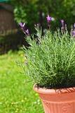 Flores de la lavanda en el jardín Imagen de archivo libre de regalías