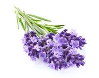 Flores de la lavanda en primer foto de archivo libre de regalías