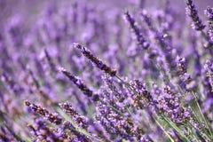 Flores de la lavanda en Provence en un fondo púrpura fotografía de archivo