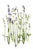 Flores de la lavanda en un blanco Fotos de archivo