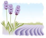 Flores de la lavanda en un campo del fondo. ilustración del vector