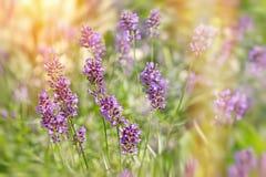 Flores de la lavanda encendidas por la luz del sol Fotografía de archivo libre de regalías