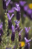 Flores de la lavanda francesa Foto de archivo libre de regalías